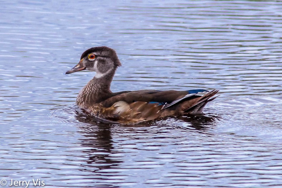 Wood duck, post-processed in Lightroom