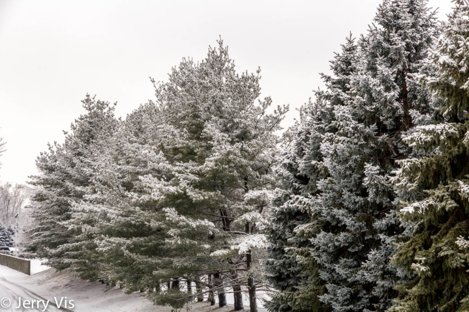 Snow covered evergreens 2