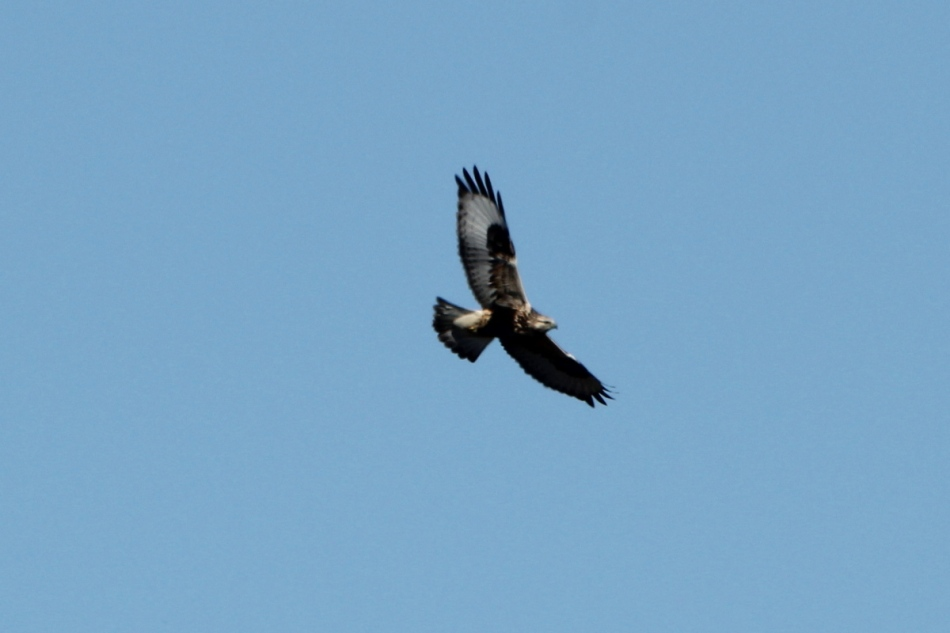 Rough-legged Hawk, Buteo lagopus
