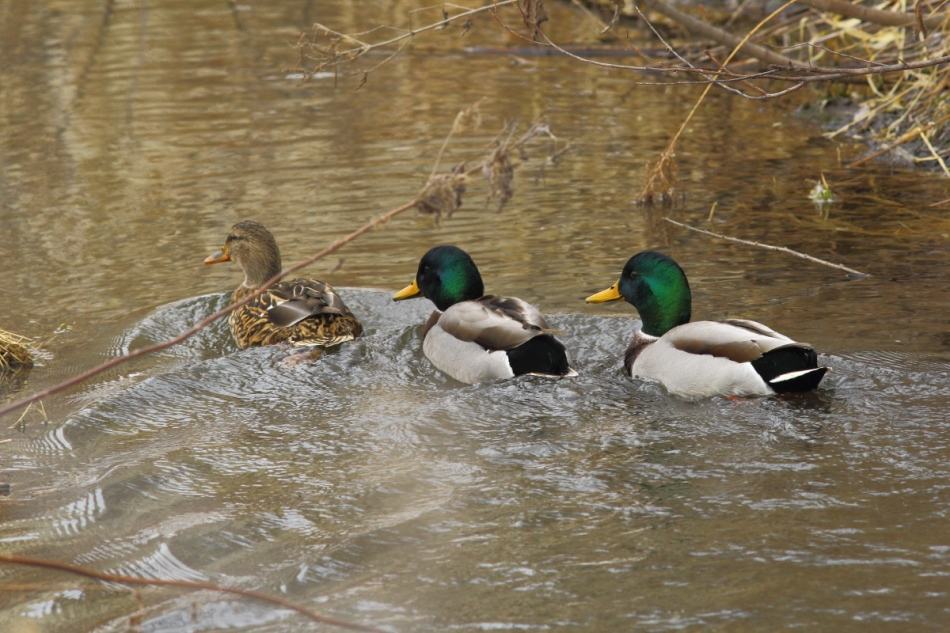 Swimming mallards