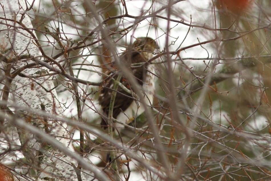 Hidden Cooper's hawk