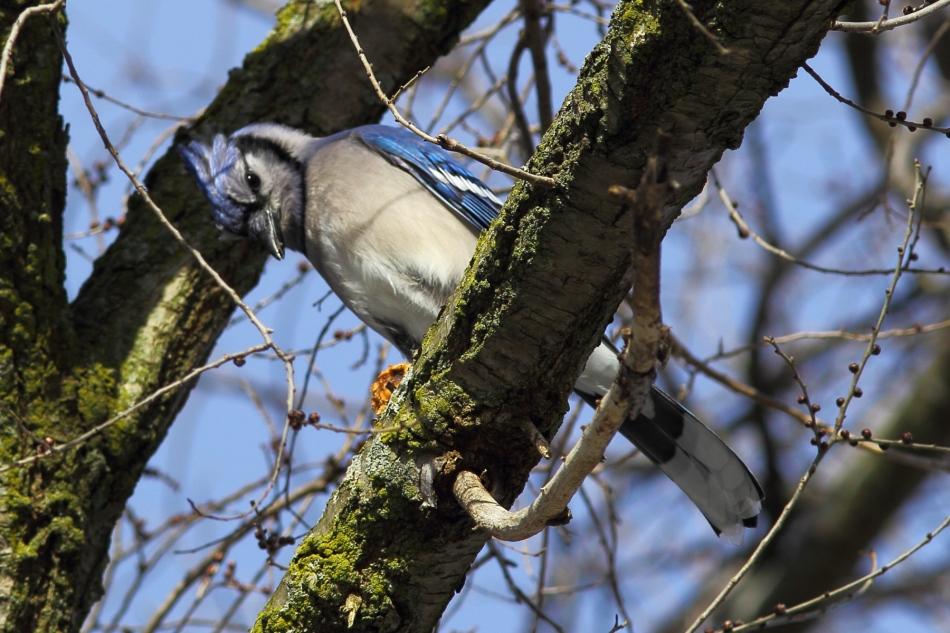 Blue jay eating pizza
