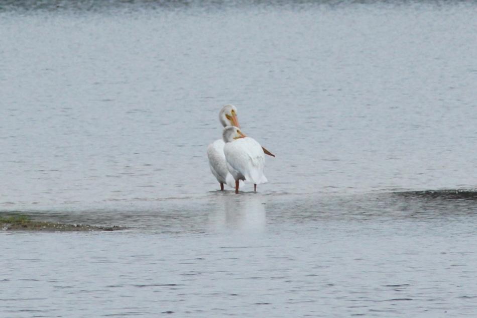 American White Pelicans, Pelecanus erythrorhynchos