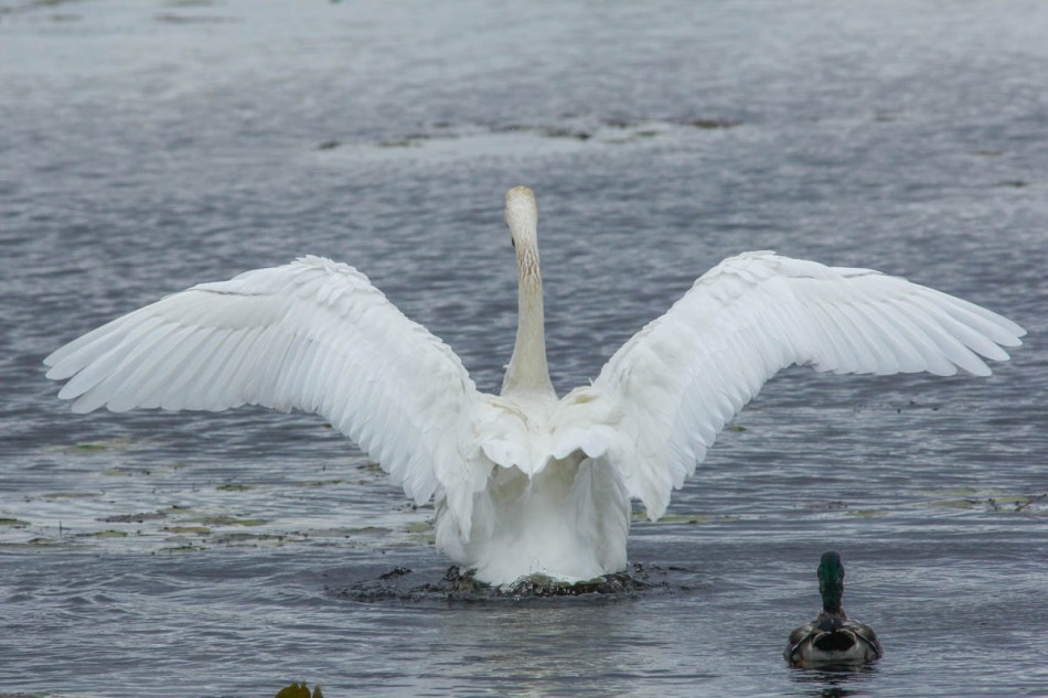 Trumpeter swan and mallard