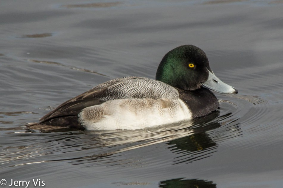 Male greater scaup