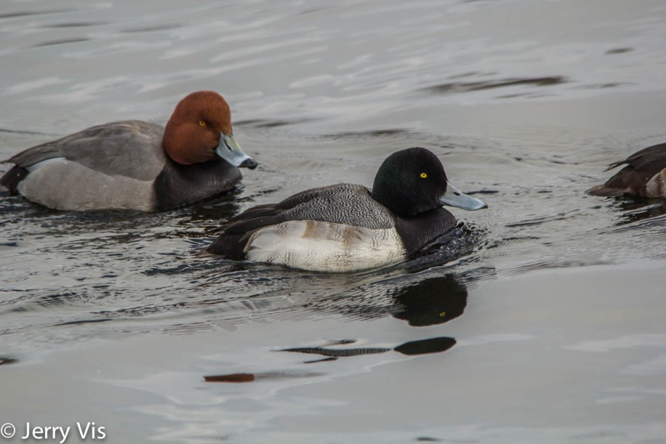 Male redhead duck and greater scaup