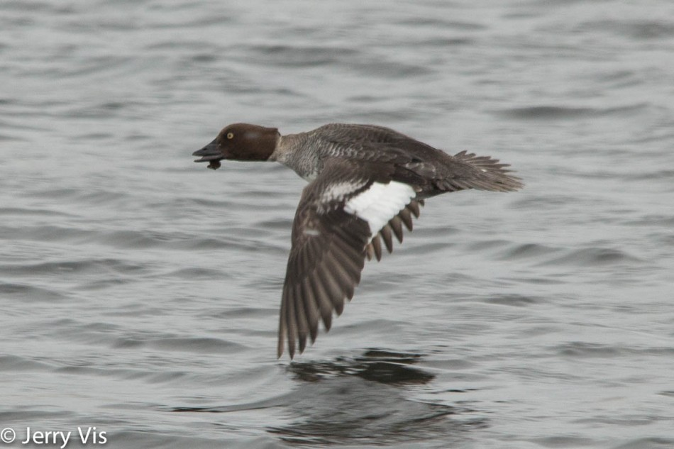 Female common goldeneye in flight