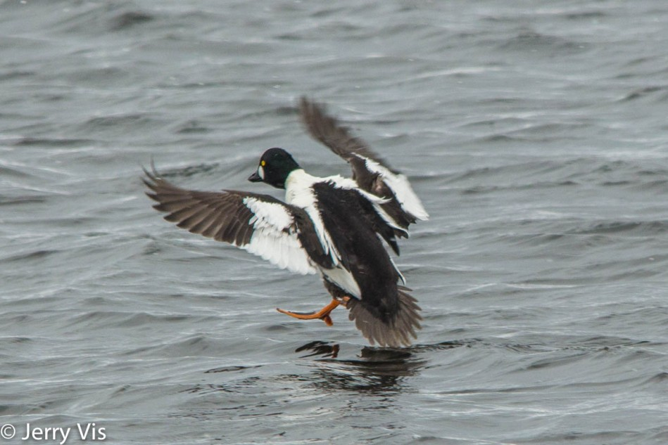 Male common goldeneye in flight