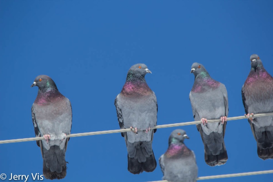 Pigeons, or rock dove