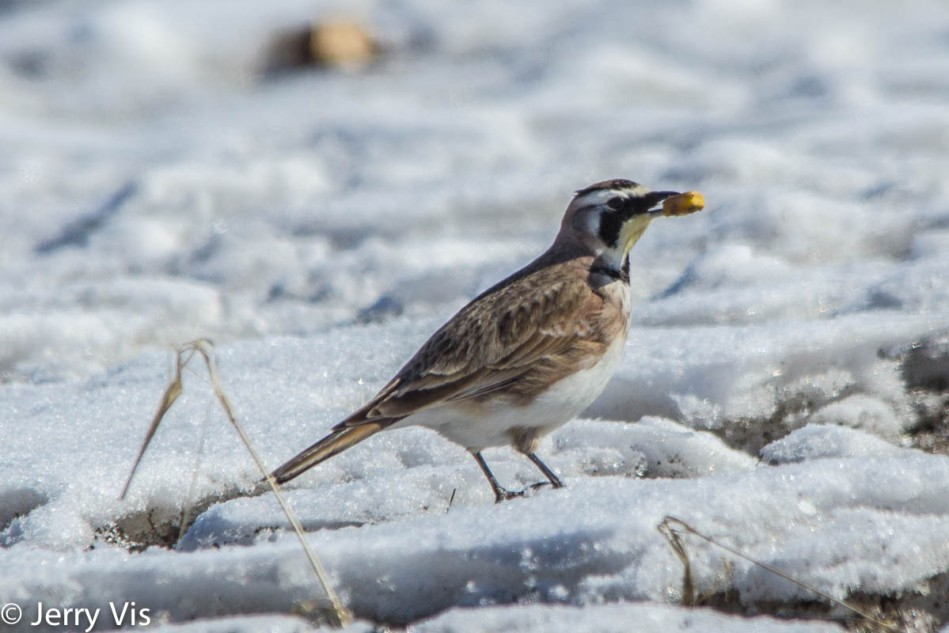 Horned lark with a kernel of corn