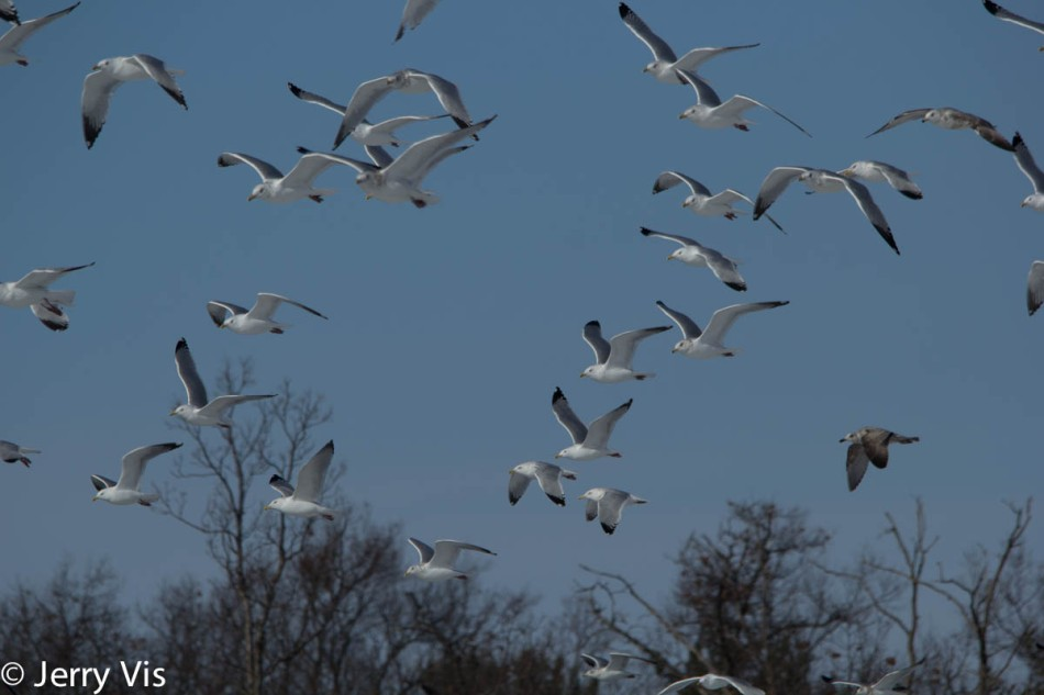 RIng-billed gulls in flight