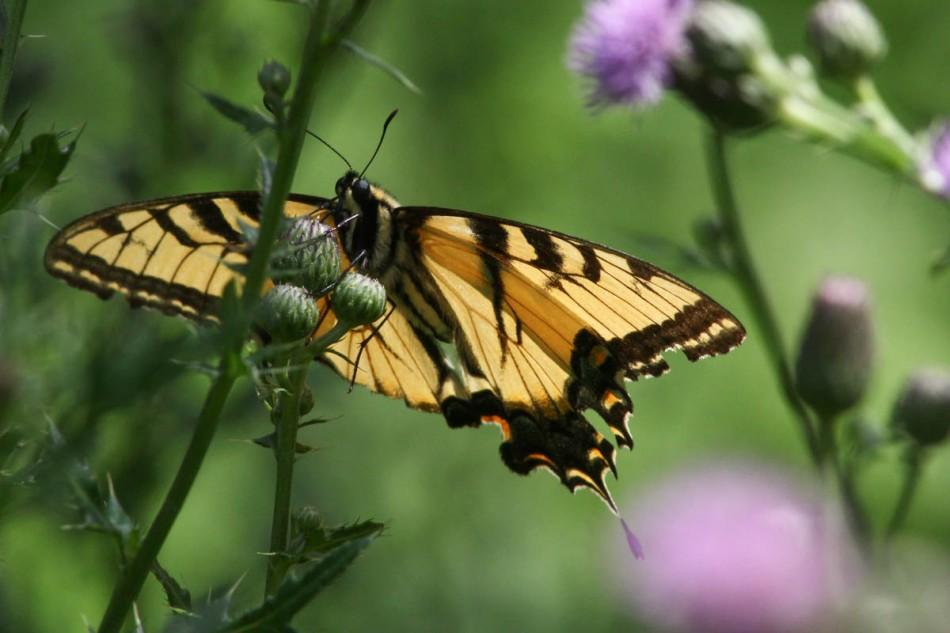 Eastern swallowtail butterfly?