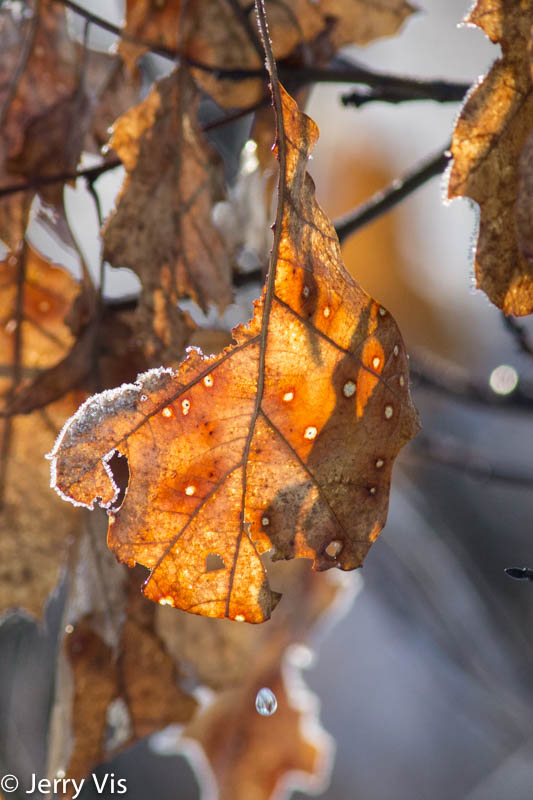 Frosty oak leaves with water drop