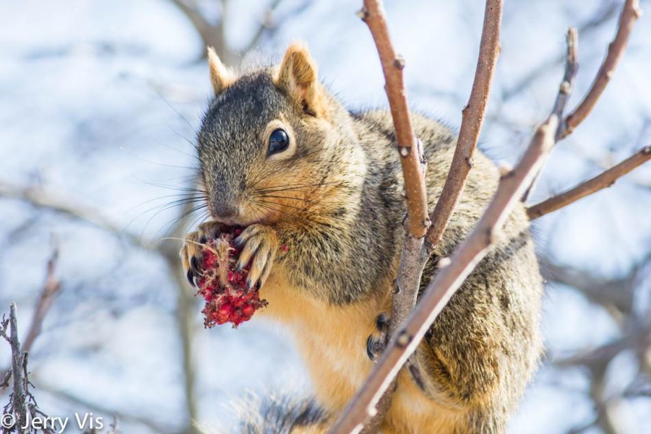 Fox squirrel eating sumac