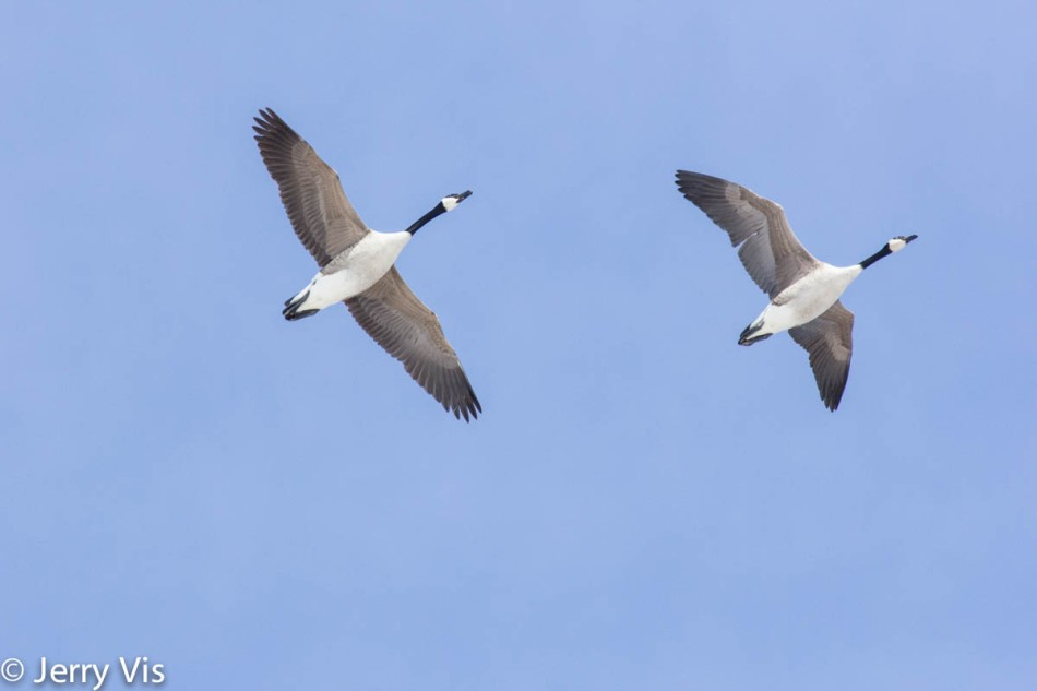 Canada geese in flight