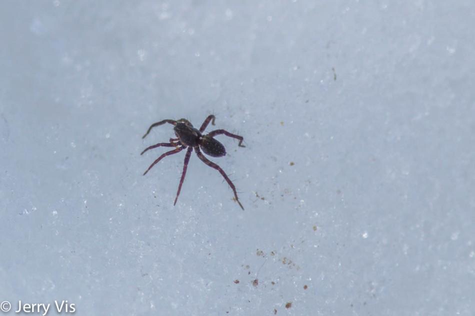 Spider on snow