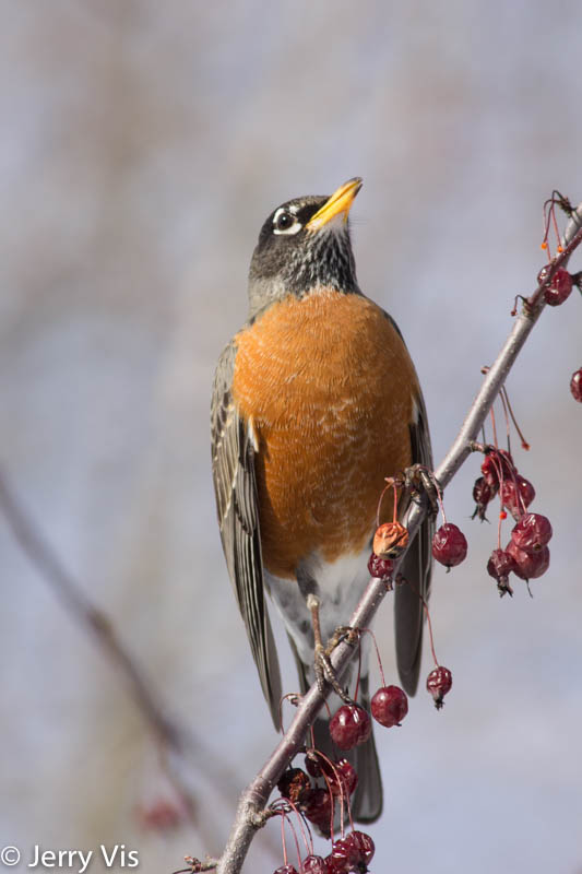 American robin eating crab apples