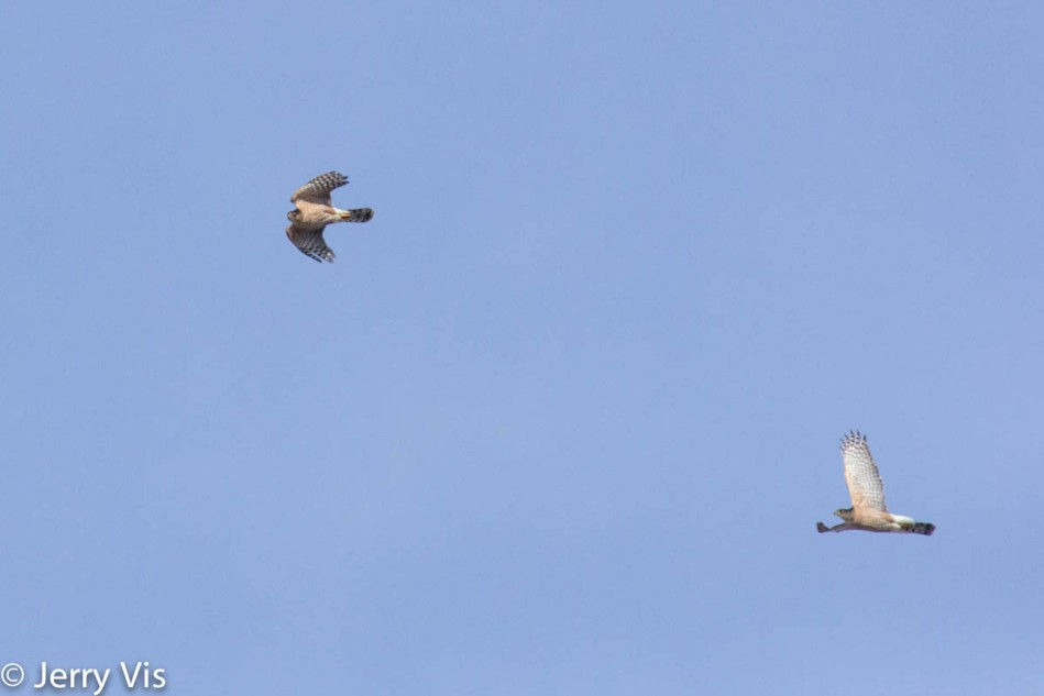 Cooper's hawks in flight