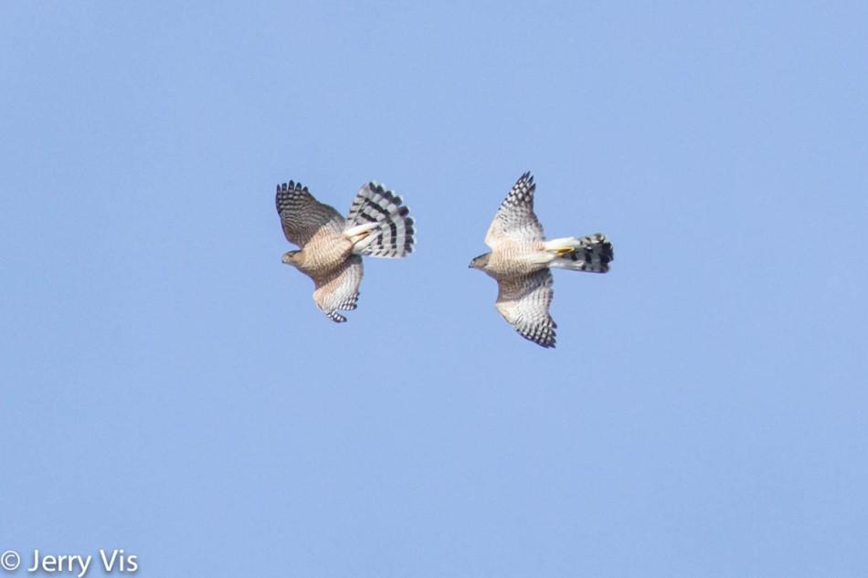Cooper's hawks in flight