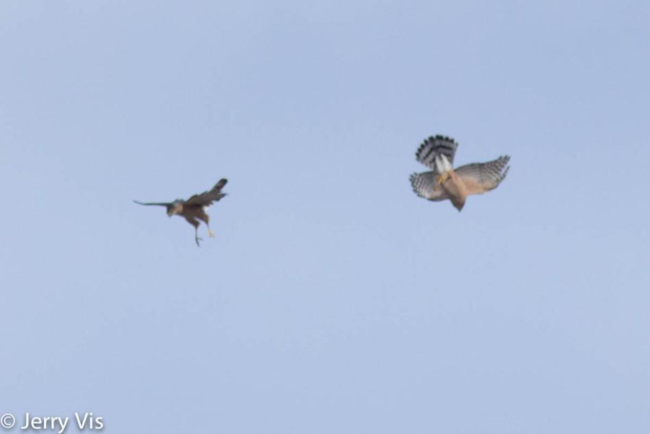 Cooper's hawks mating