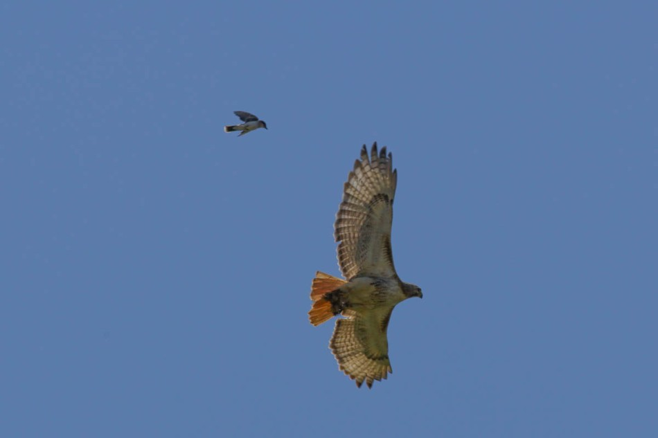 Eastern kingbird chasing a red-tailed hawk