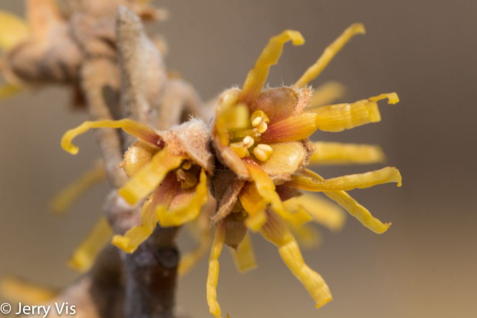 Which witch hazel?