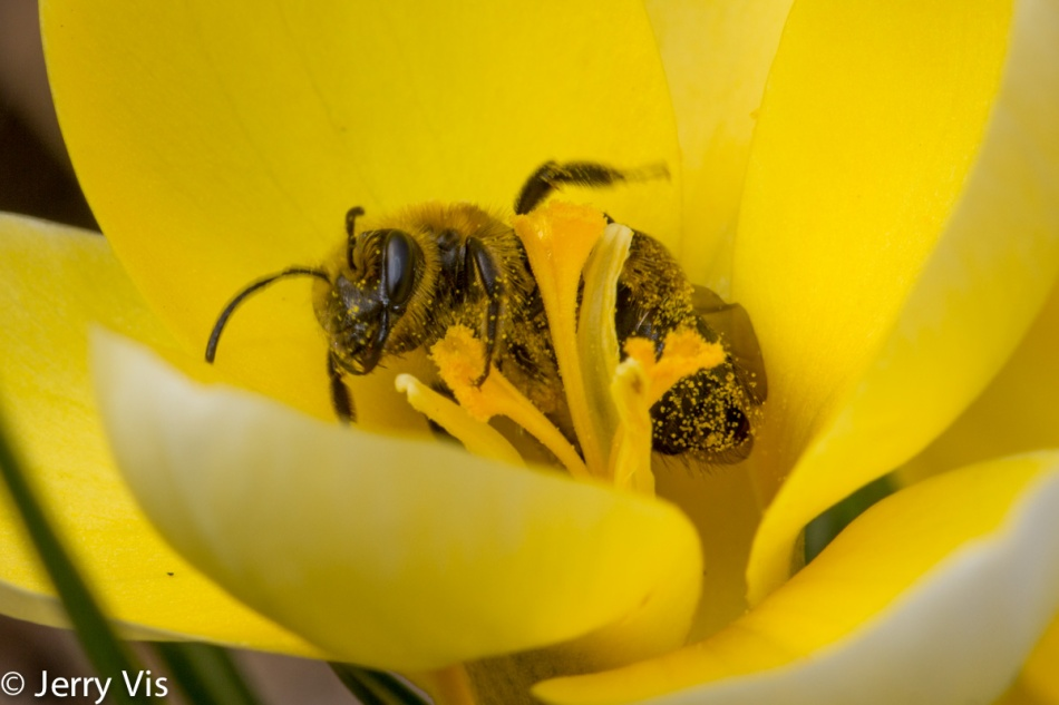 Bee in a crocus flower