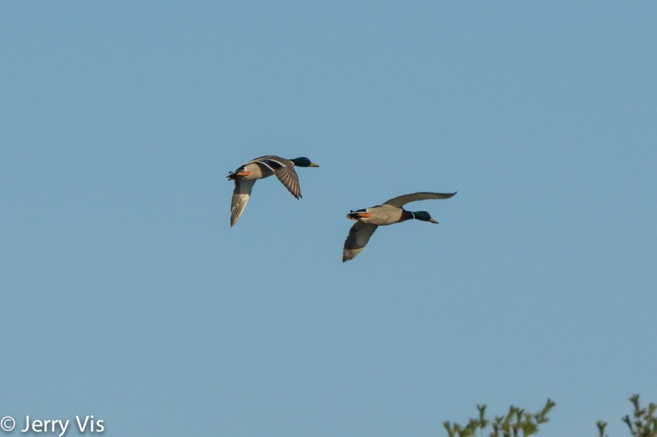 Male mallards in flight