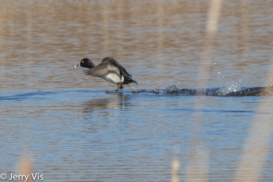 Ring-necked duck taking flight