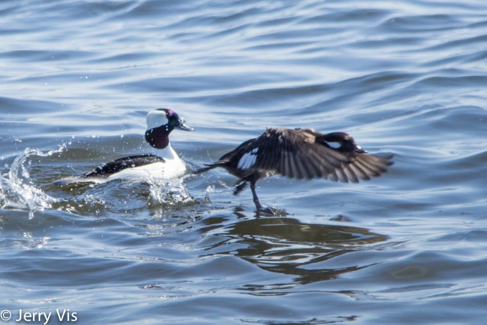 Bufflehead ducks