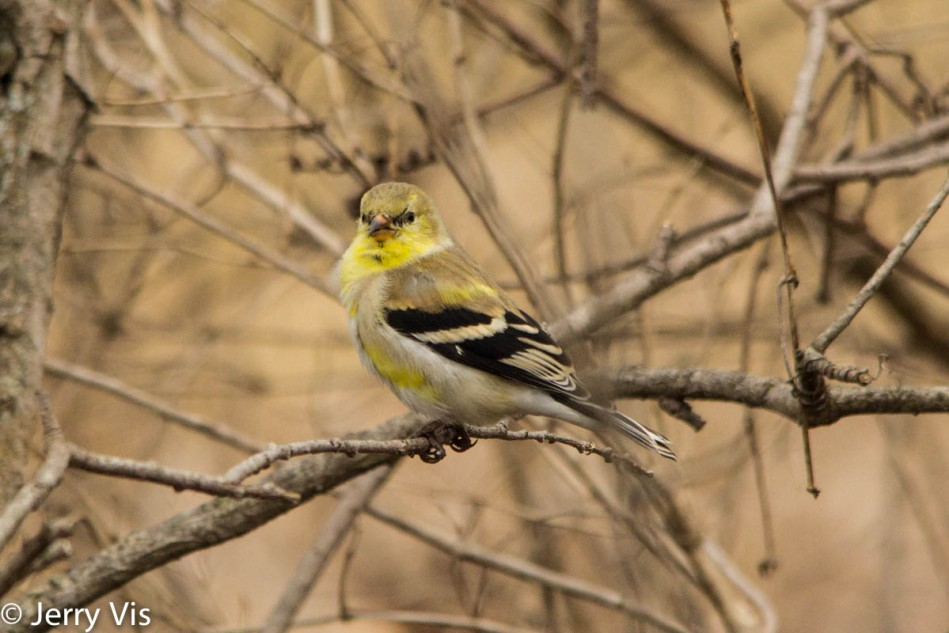Male American goldfinch