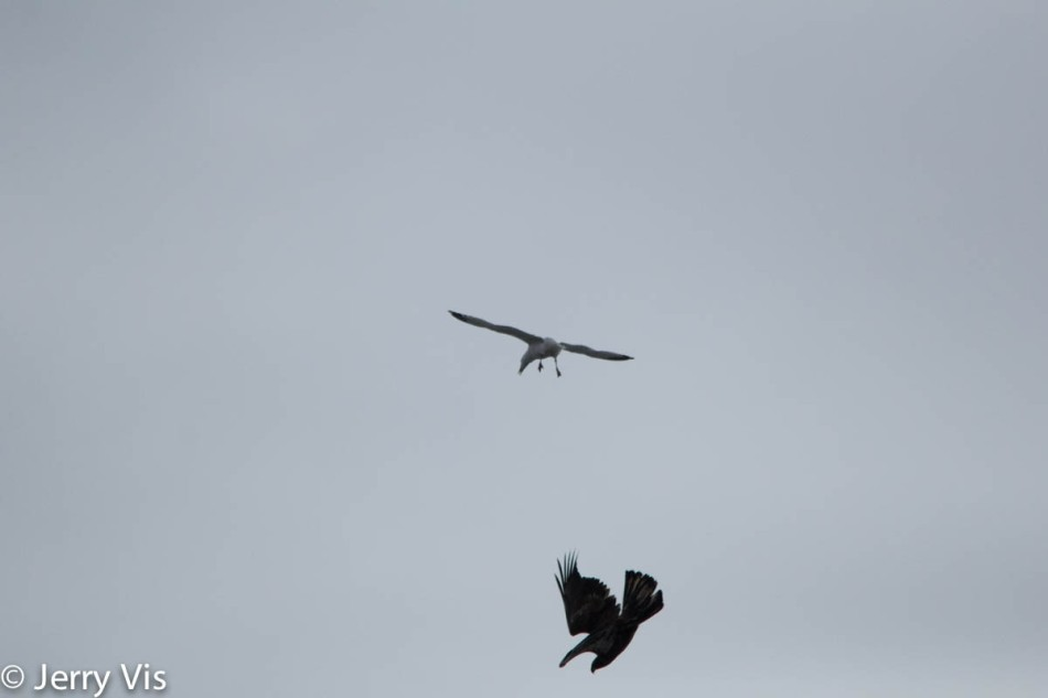 Gull attacking a bald eagle