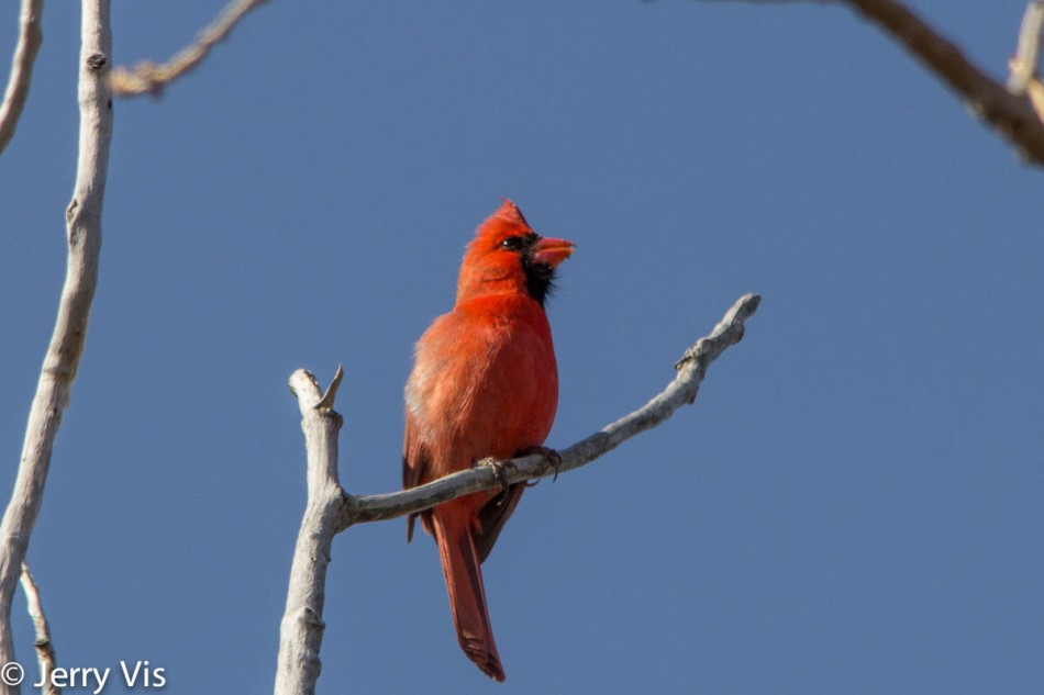 Male northern cardinal singing