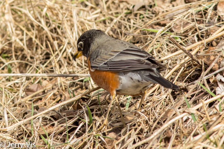 American robin with a snack