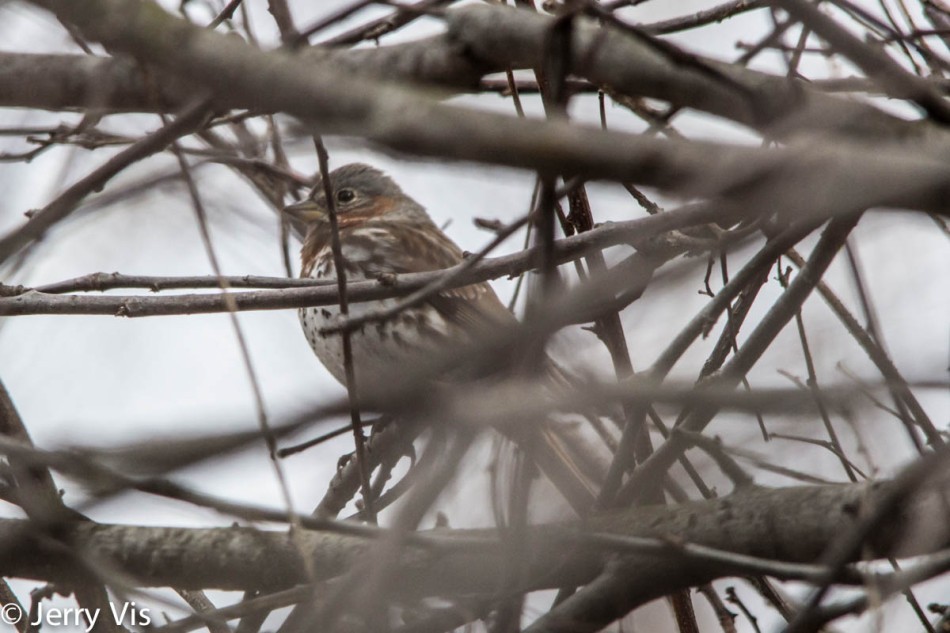 Fox sparrow hiding