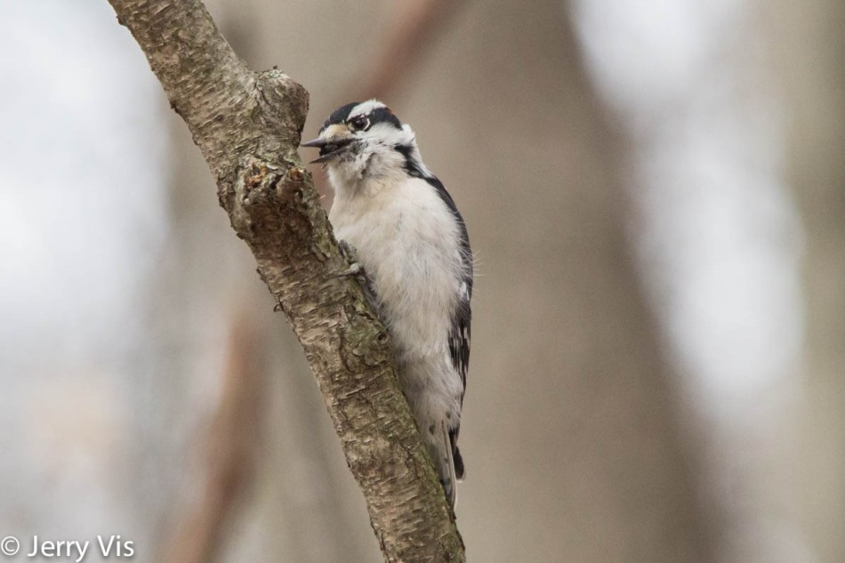 Downy woodpecker finding food