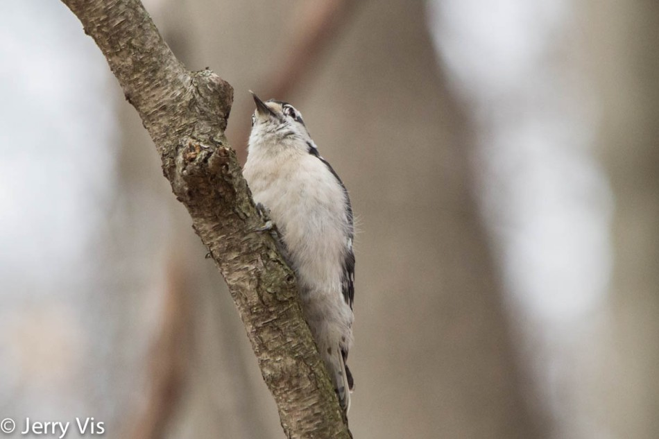 Downy woodpecker licking its lips
