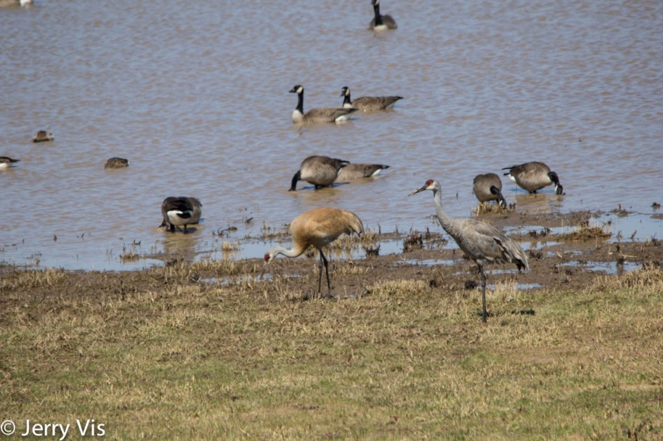 Sandhill cranes and geese
