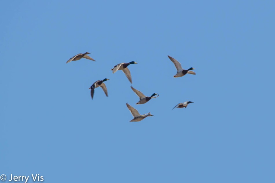 Mallards and one male northern shoveler in flight