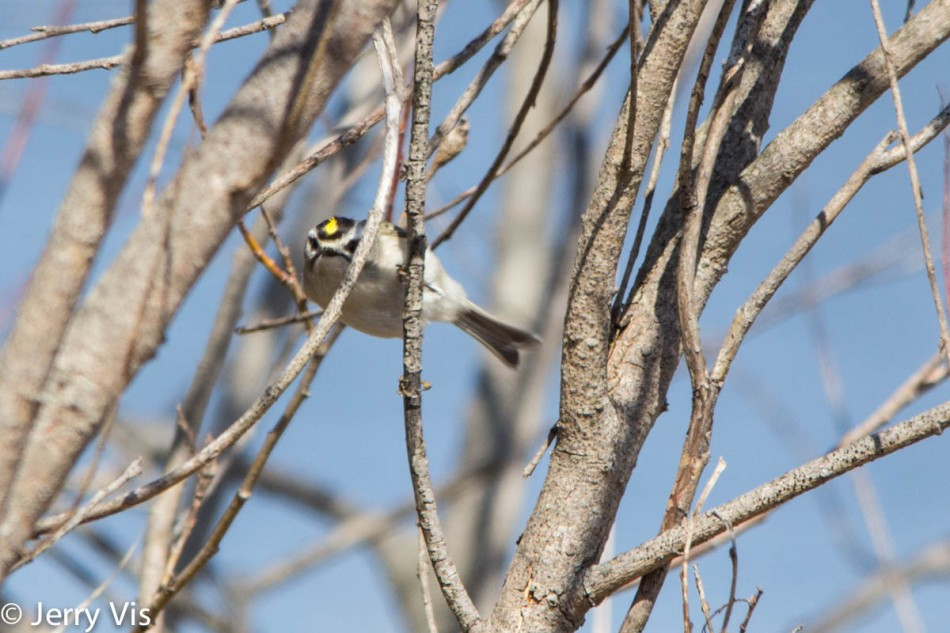 Golden-crowned kinglet being difficult