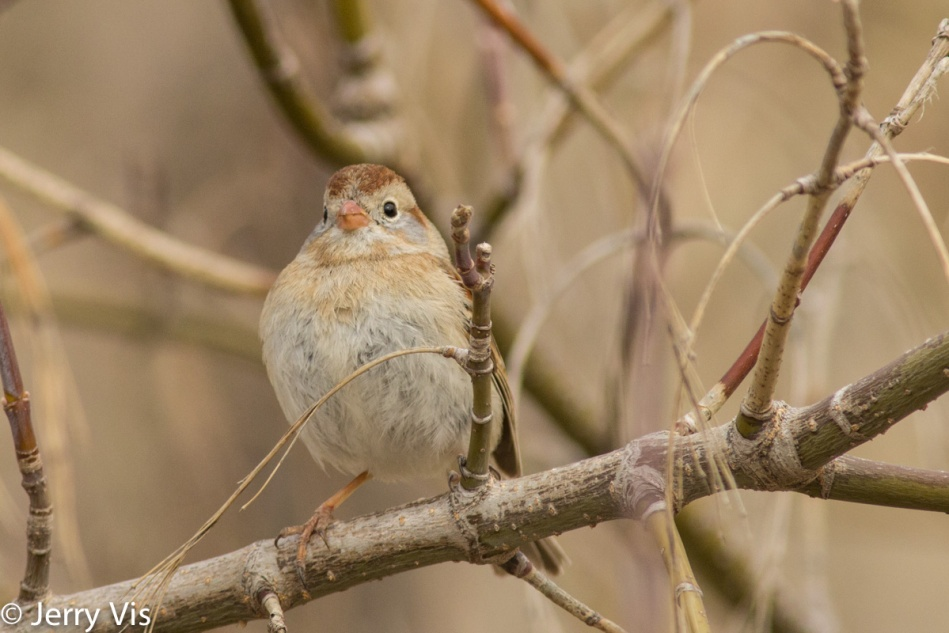 Field sparrow posing for the camera