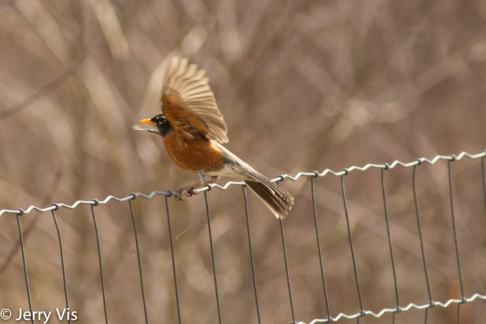 American robin taking flight