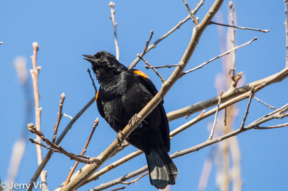 "Red-winged blackbird ""singing"""