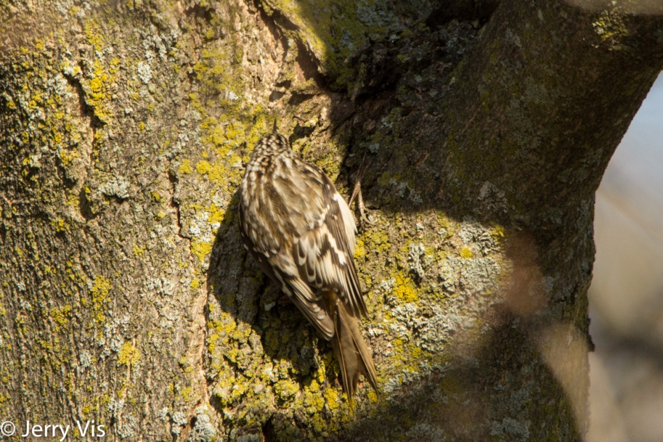 Brown creeper on the move