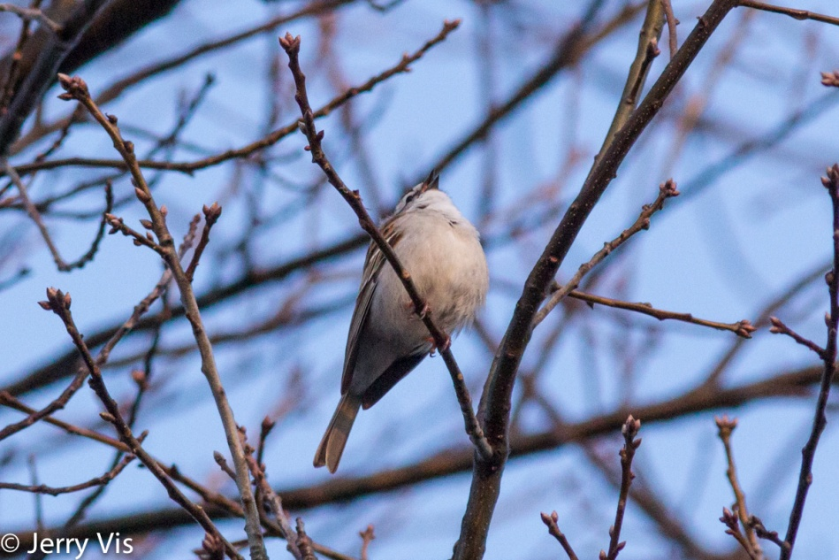 Chipping sparrow singing