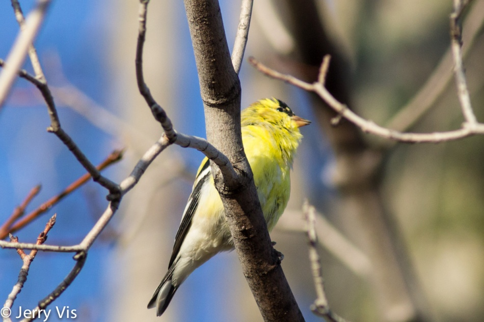 American goldfinch singing