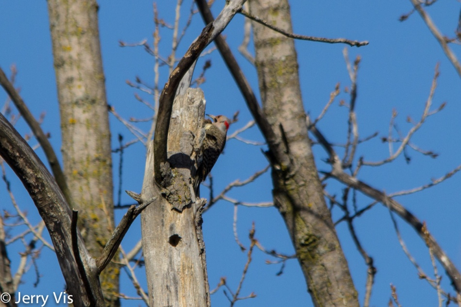 Northern flicker drumming