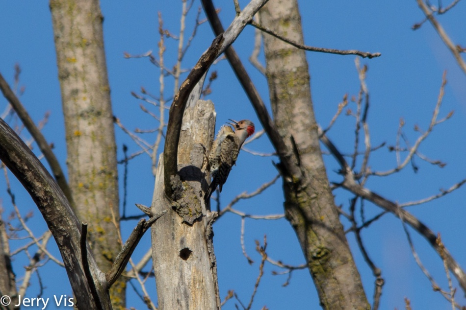 Northern flicker calling