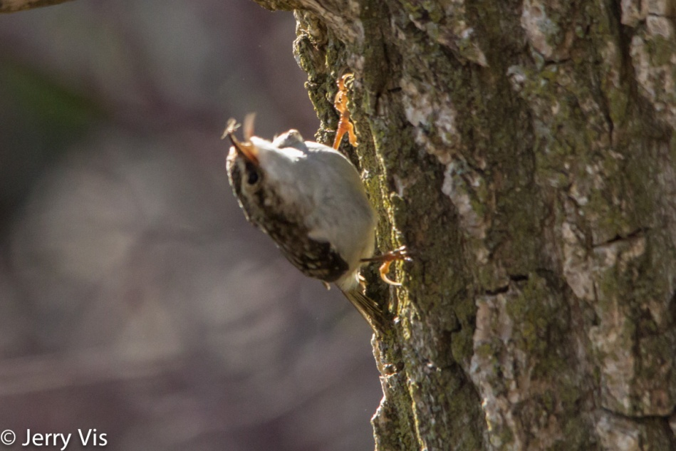 Brown creeper catching a flying insect