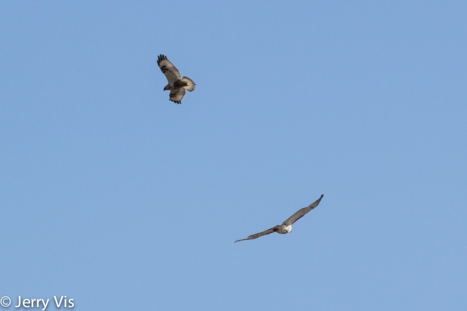 Red-tailed hawks in flight
